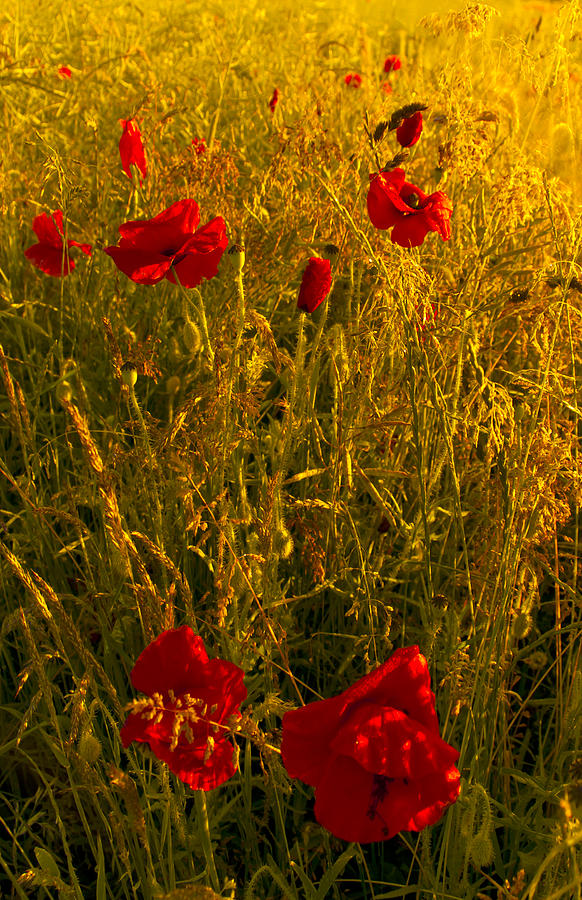 Red Photograph - Poppy Field by Svetlana Sewell