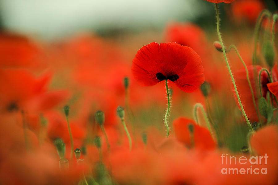 Poppy Photograph - Poppy Flowers 01 by Nailia Schwarz