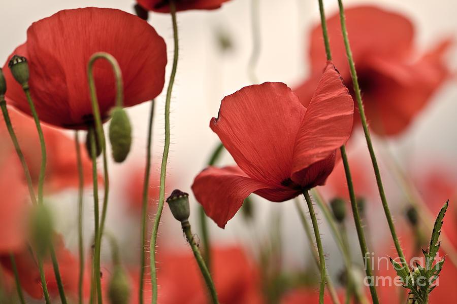 Poppy Flowers 04 Photograph