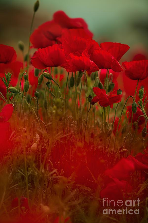 Poppy Photograph - Poppy Flowers 06 by Nailia Schwarz
