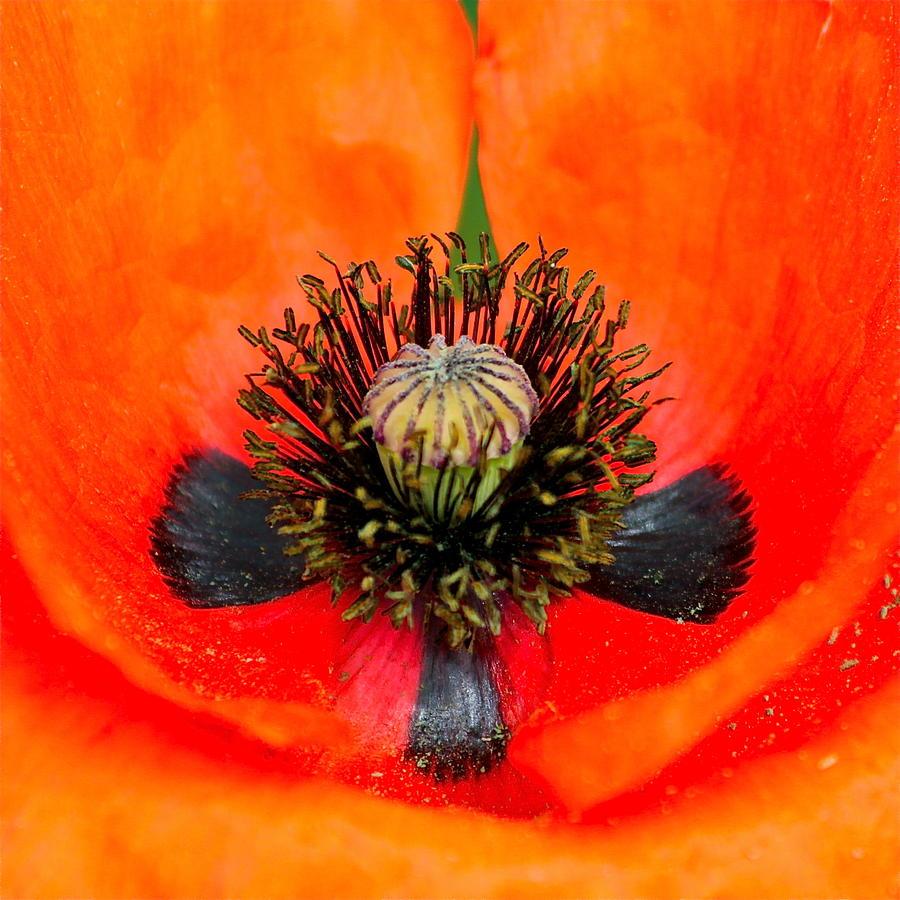 Poppy Photograph - Poppy Heart by Karon Melillo DeVega