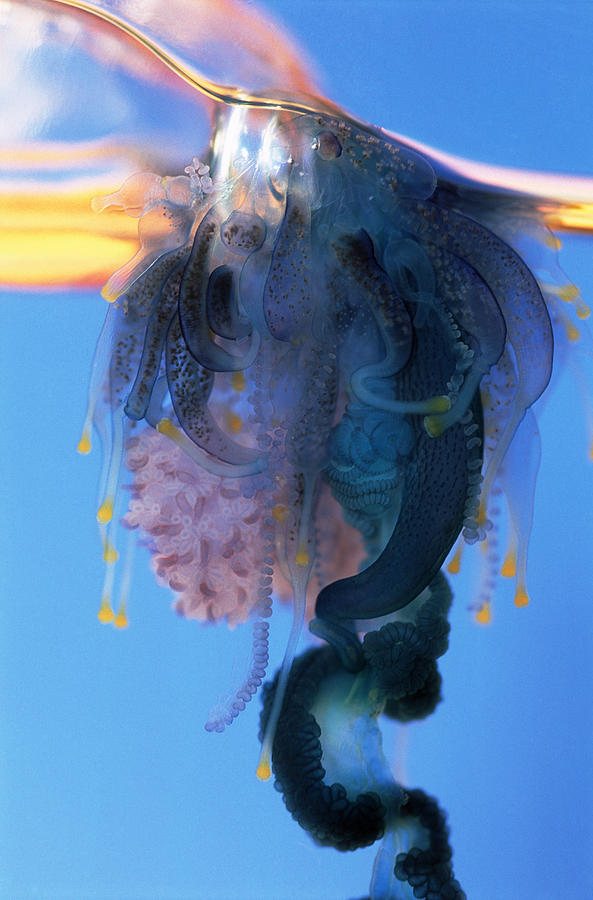 Colony Photograph - Portuguese Man-of-war by Georgette Douwma