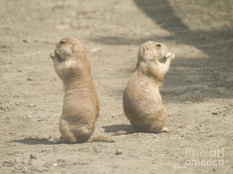 Animal Photograph - Prairie Dog by Odon Czintos