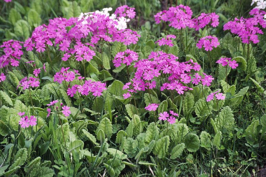 Primrose Photograph - Primrose Flowers (primula Patens) by Dr. Nick Kurzenko