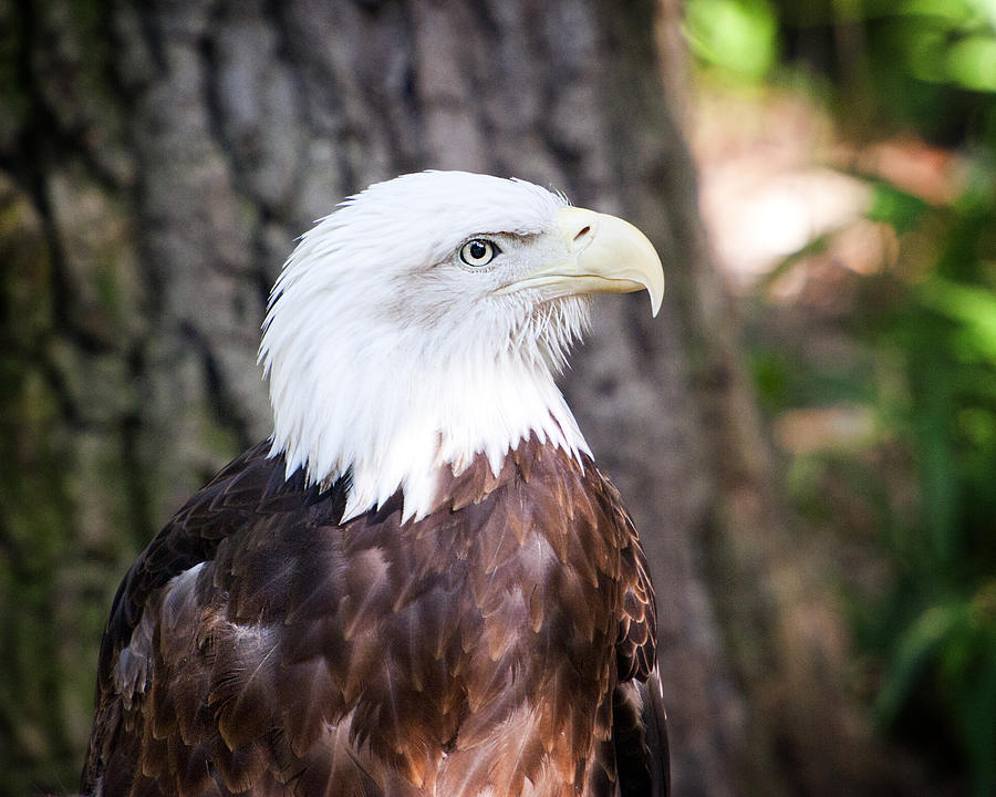 Proud Eagle Pyrography by Tammy Smith