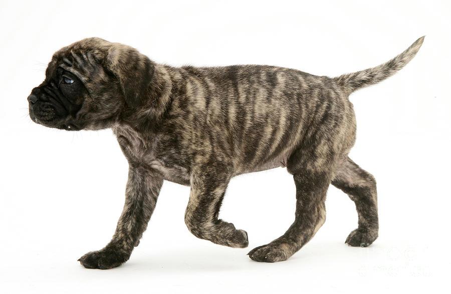 Animal Photograph - Puppy Trotting by Jane Burton