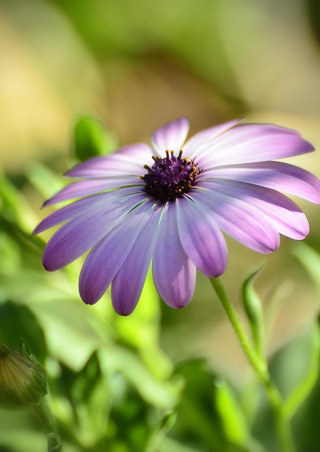 Purple Daisy Photograph - Purple Daisy  by Saija  Lehtonen