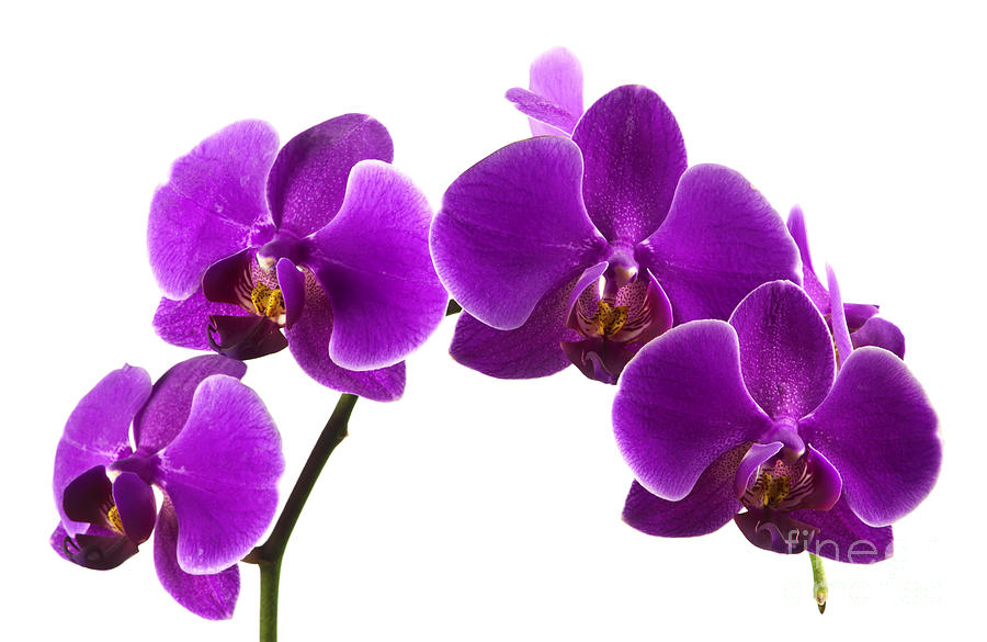 Orchid Photograph - Purple Orchids by Blink Images