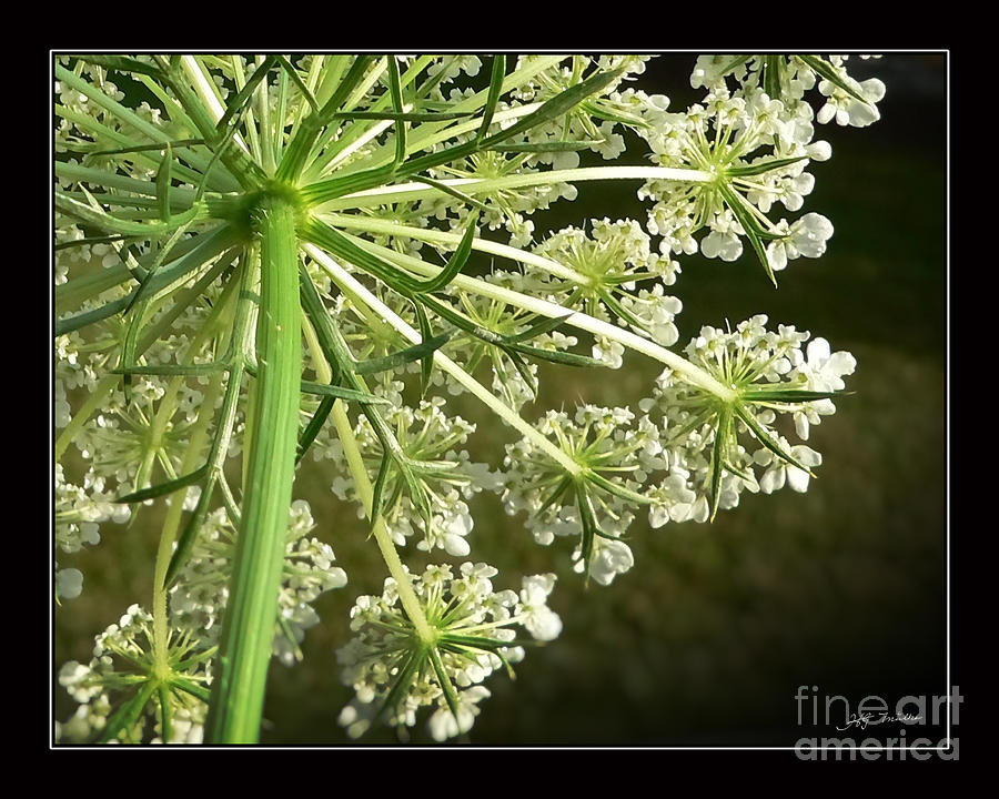 Queen Anns Lace Photograph by Heinz G Mielke