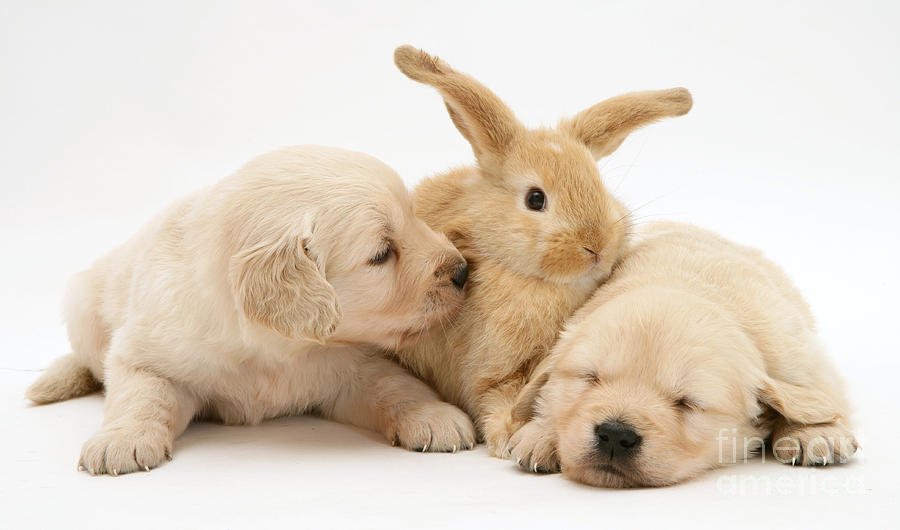 Lop Rabbit Photograph - Rabbit And Puppies by Jane Burton