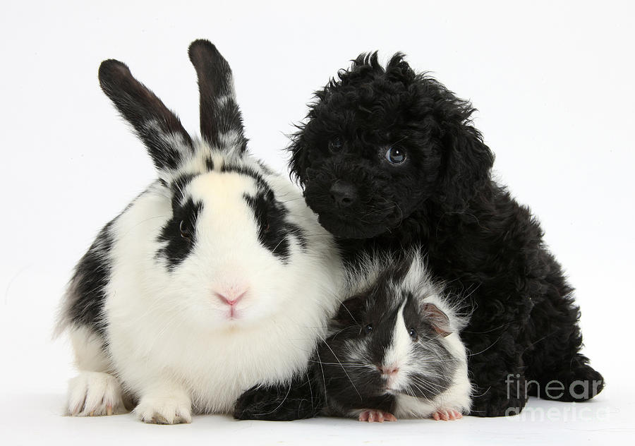 Nature Photograph - Rabbit, Puppy And Guinea Pig by Mark Taylor