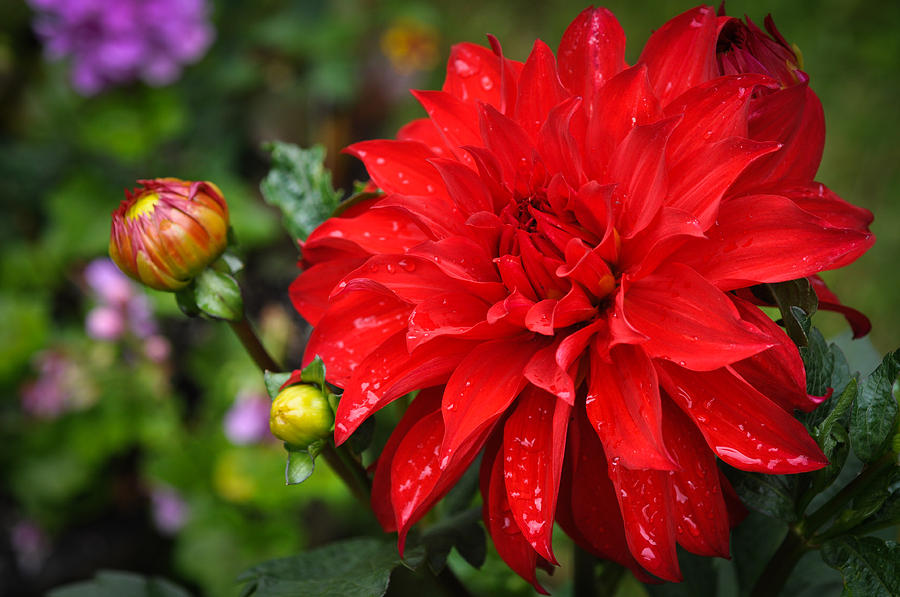 Blossoms Photograph - Rain And Red Dahlia by Ronda Broatch