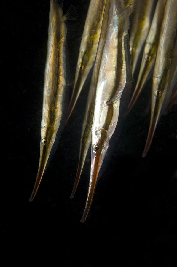 Shrimpfish Photograph - Razorfish by Matthew Oldfield