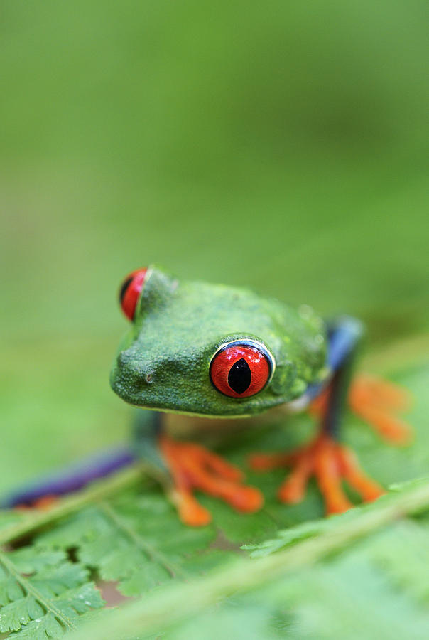 Vertical Photograph - Red-eyed Tree Frog (agalychnis Callidryas) by Peter Lilja