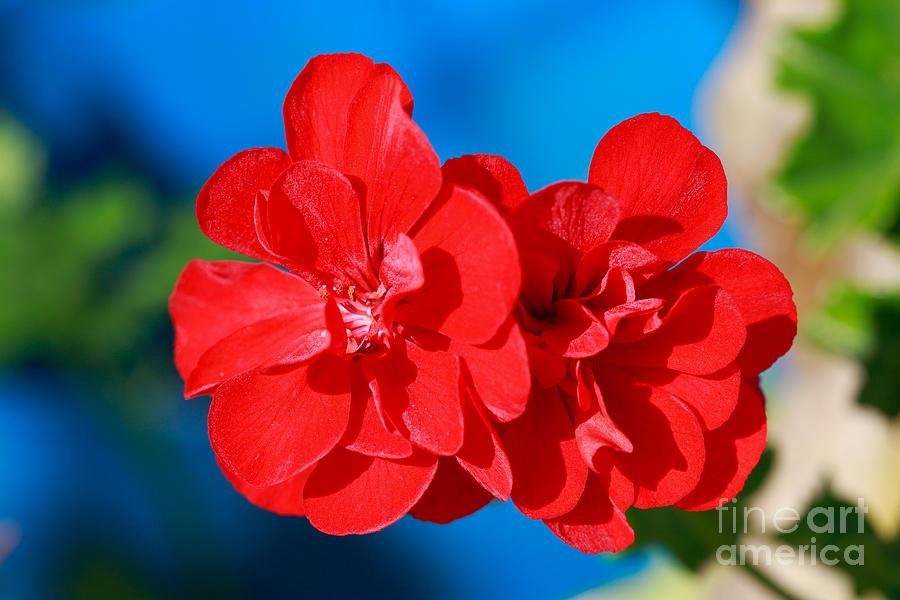 Red Garden Flowers Photograph by Gaspar Avila