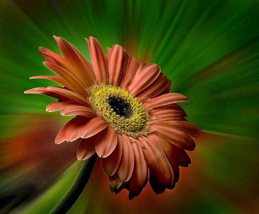 Flower Photograph - Red Gerber Daisy by Bob Mulligan
