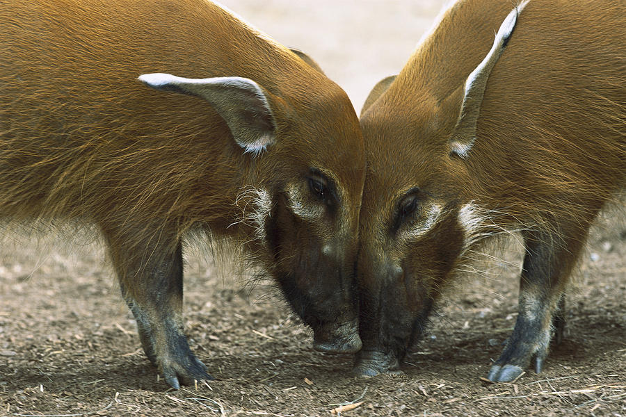 Red River Hog Potamochoerus Porcus Pair Photograph By San