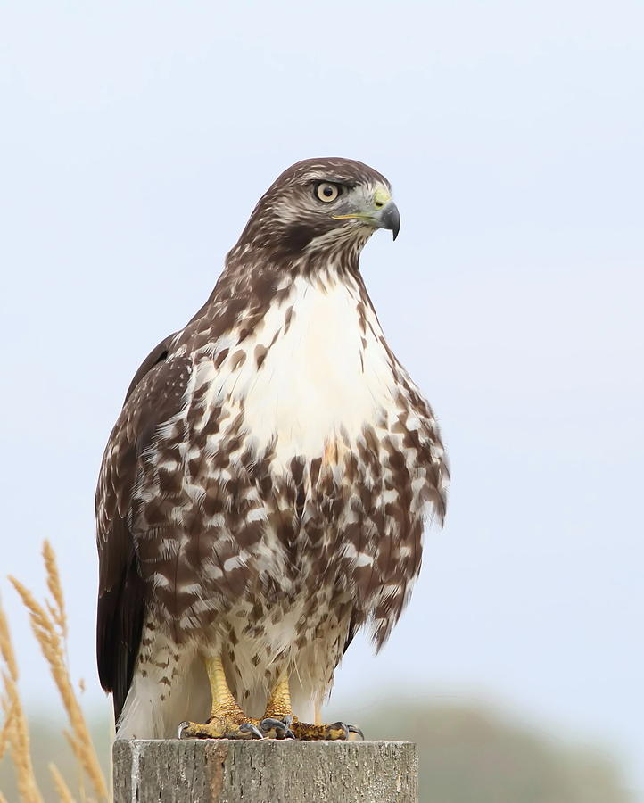 Hawk Photograph - Red-tail Hawk  by Angie Vogel