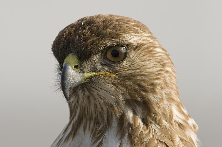 Red Tailed Hawk Juvenile Stevens Creek Photograph by Sebastian Kennerknecht