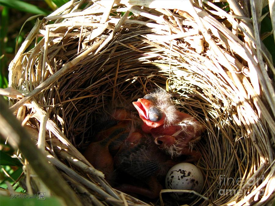 Nest Photograph - Red-winged Blackbird Babies And Egg by J McCombie