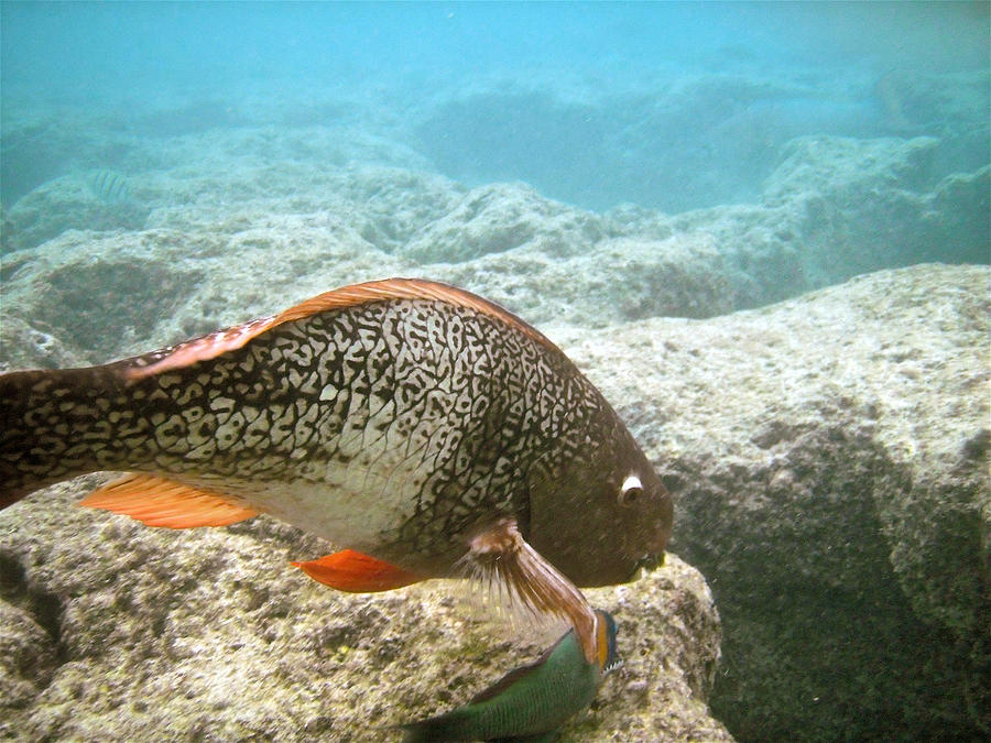 Parrot Photograph - Redlip Parrotfish by Michael Peychich