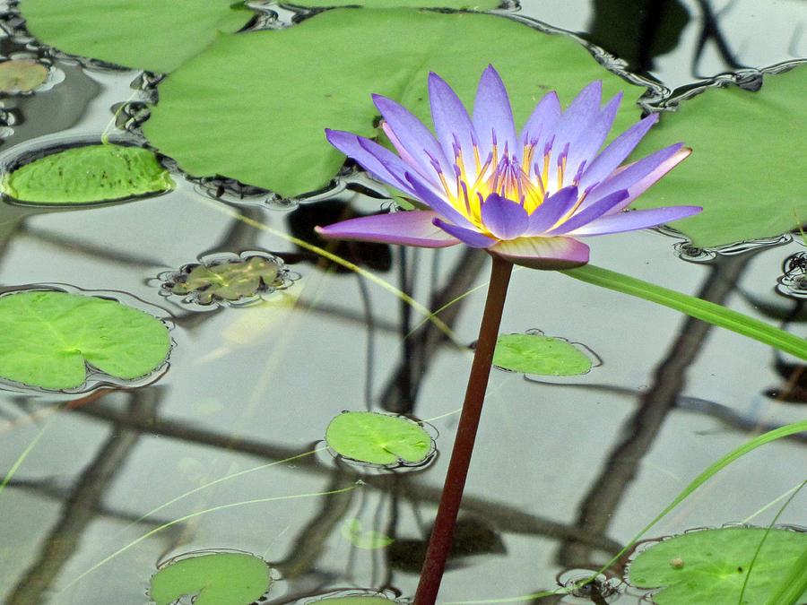 Lotus Photograph - Reflections by Wendi Matson