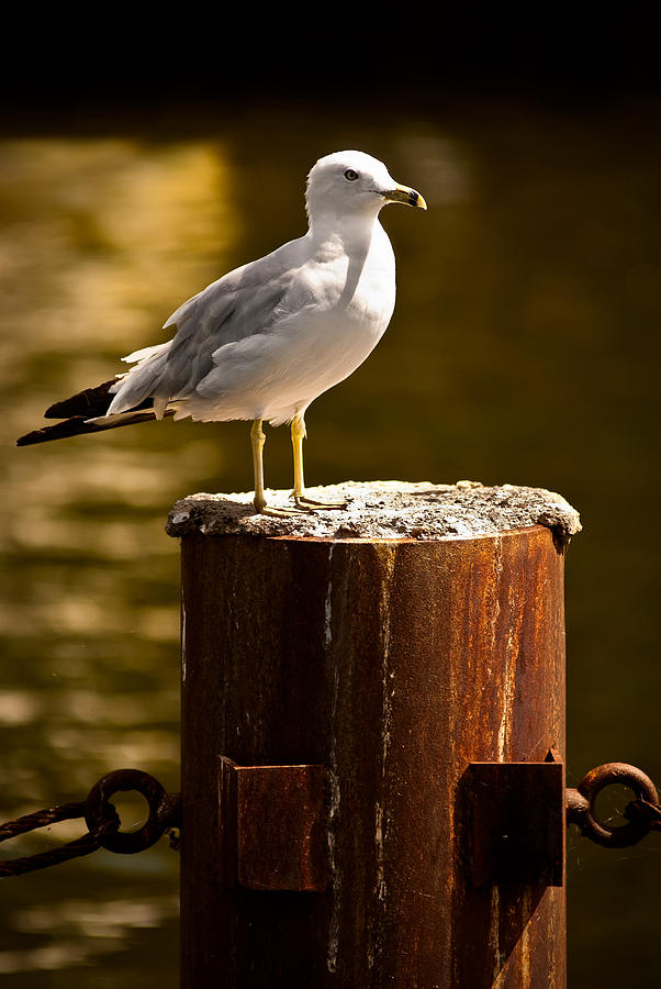 Ring-billed Gull Photograph - Ring-billed Gull On Pillar by  Onyonet  Photo Studios
