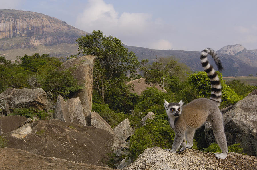 Mp Photograph - Ring-tailed Lemur Lemur Catta Portrait by Pete Oxford