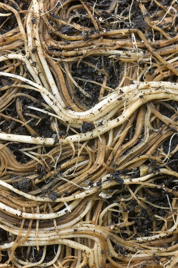 Buddleja Globosa Photograph - Roots Of A Pot-bound Buddleja Plant by Dr Jeremy Burgess