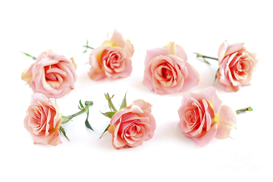 Rose Photograph - Rose Blossoms by Elena Elisseeva