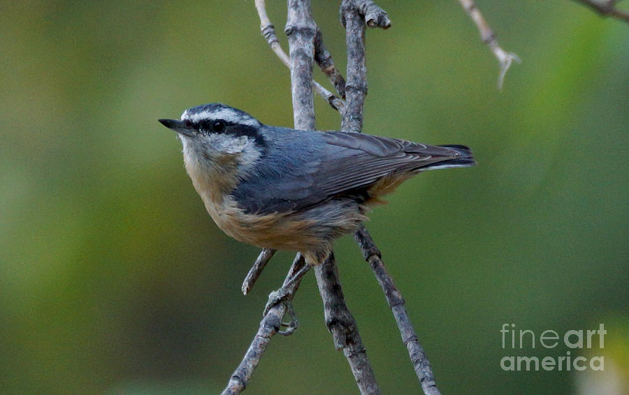 Birds Photograph - Rose Breasted Nuthatch by Lori Tordsen