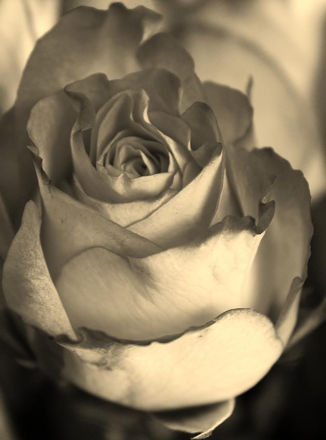 Flora Photograph - Rose In Sepia by Bruce Bley