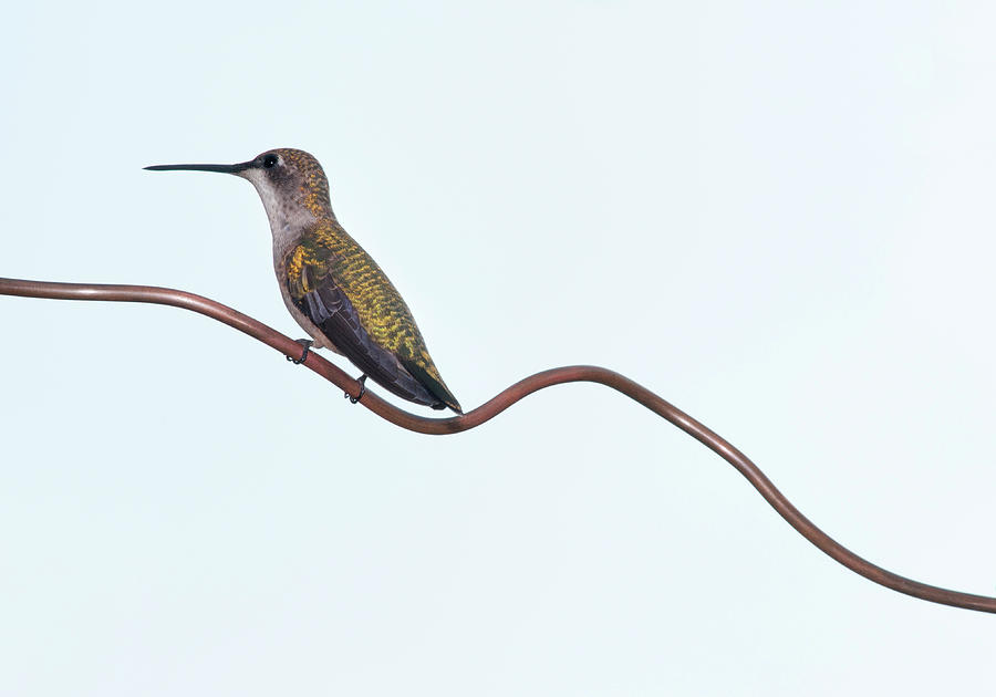 Horizontal Photograph - Ruby Throated Hummingbird by Jim McKinley