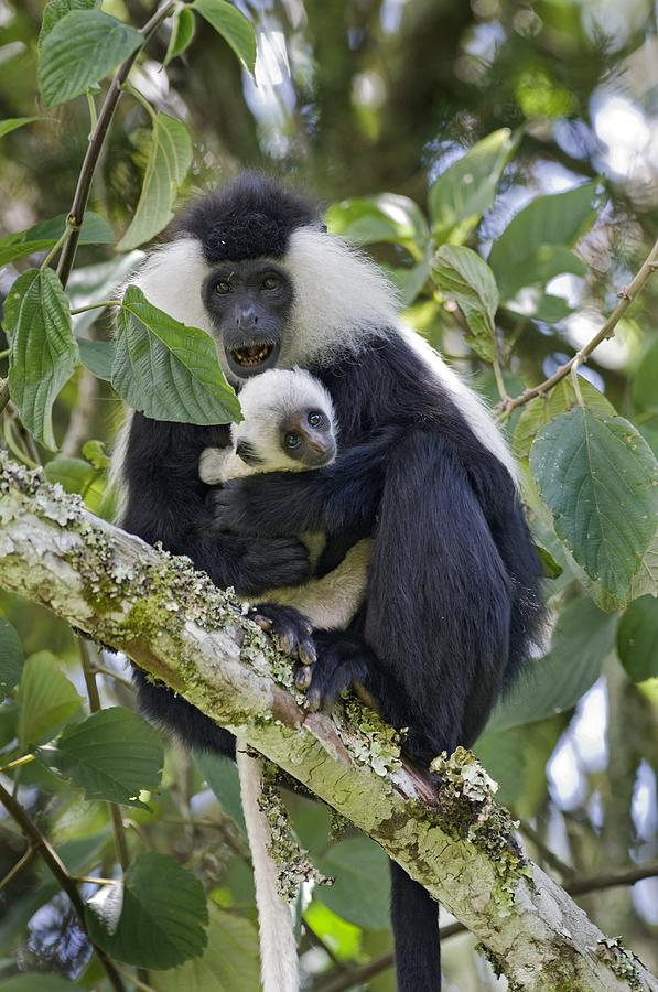 Colobus Photograph - Ruwenzori Black-and-white Colobi by Tony Camacho