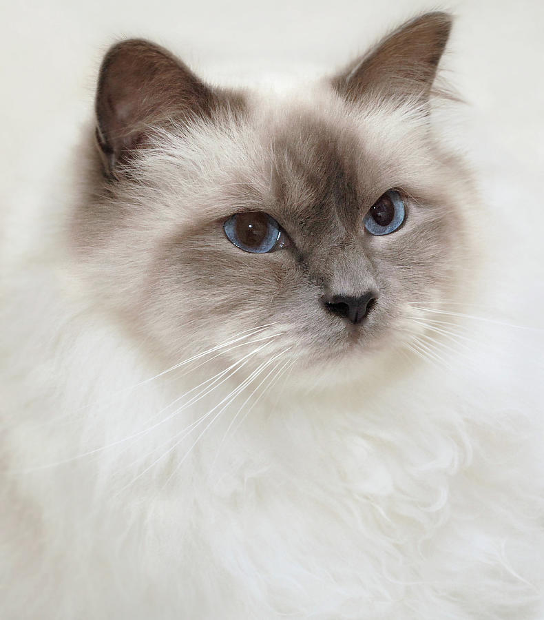 Vertical Photograph - Sacred Birman Cat With Blue Eyes by MariaR