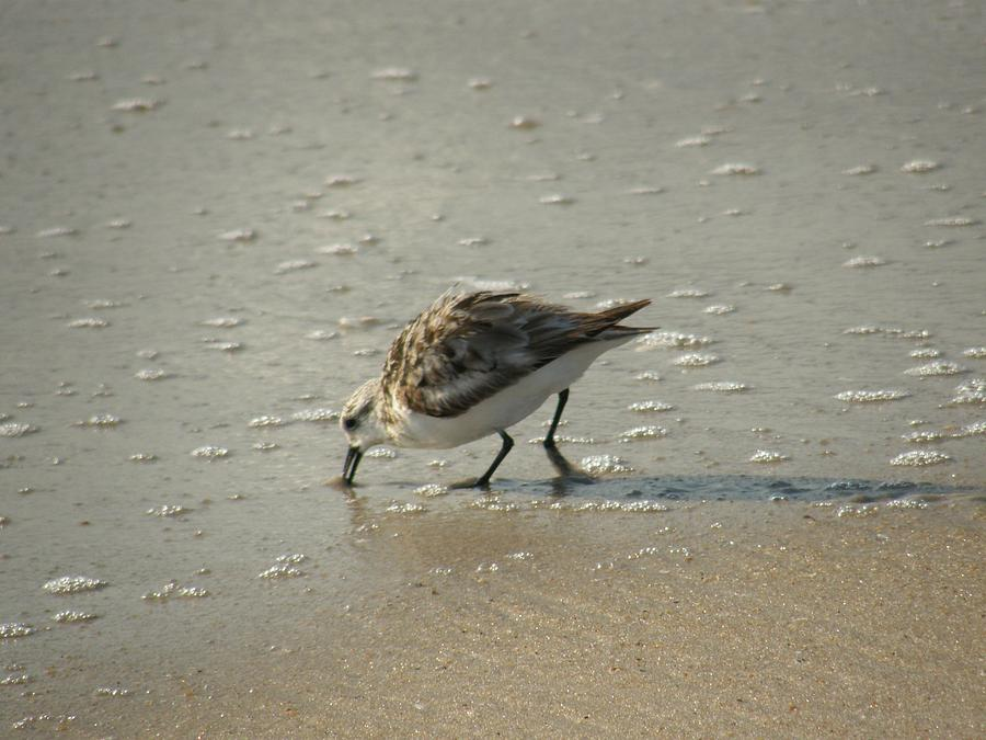 Sandpiper Photograph - Sandpiper Hunting On Assateague Island Maryland by Sven Migot