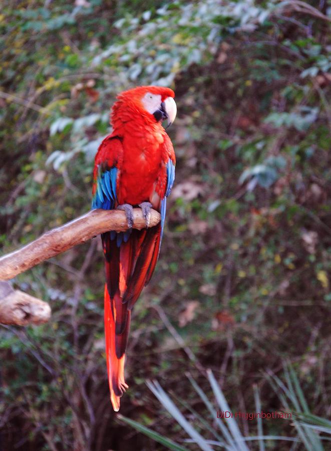 Macaw Photograph - Scarlet Macaw by DiDi Higginbotham