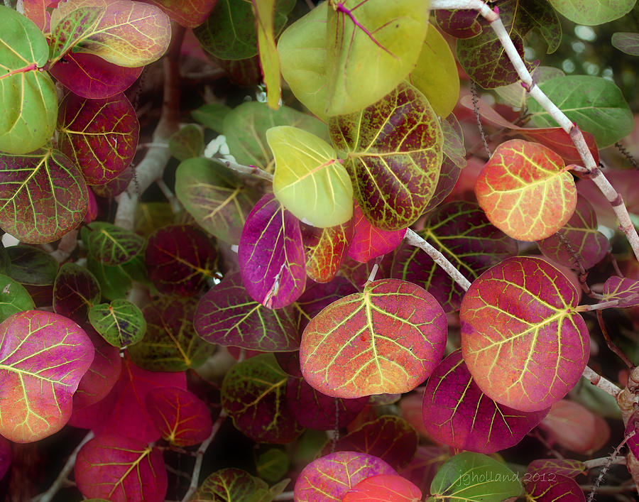 Leaves Photograph - Sea Grape by Joseph G Holland