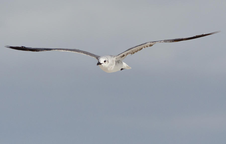 Sea Gull Photograph - Sea Gull In Flight by Mike Rivera