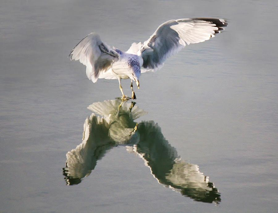 Reflection Photograph - Sea Gull Reflection by Paulette Thomas