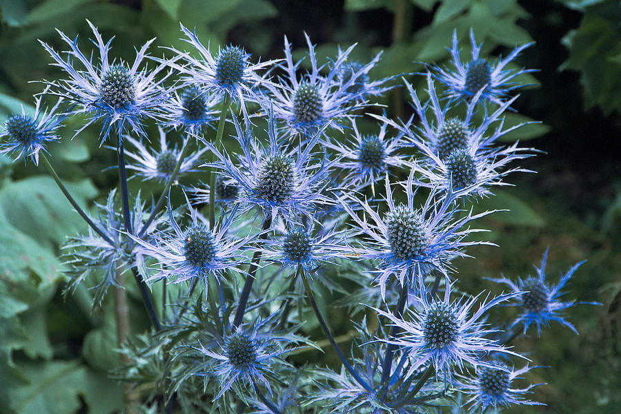 Sea Holly Eryngium X Oliverianum Photograph By Archie Young