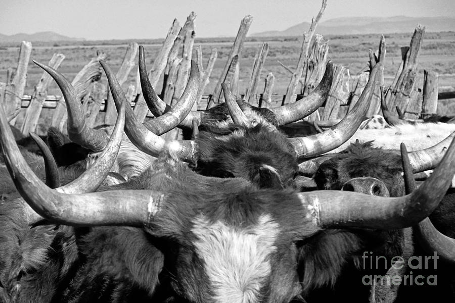 Cows Photograph - Sea Of Horns by Megan Chambers
