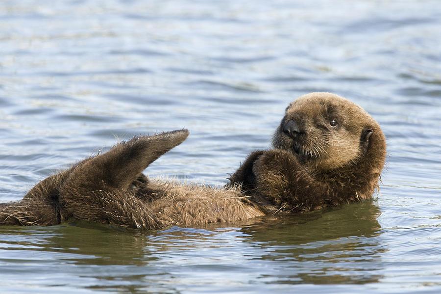 Sea Otter Pup Elkhorn Slough Monterey Photograph by Sebastian Kennerknecht