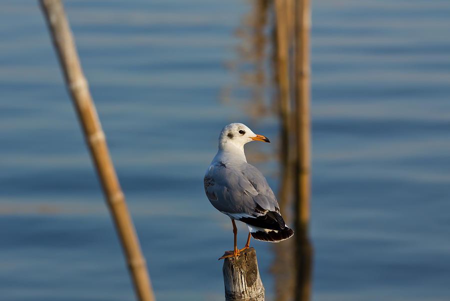 Animal Photograph - Seagull by Amornthep Chotchuang