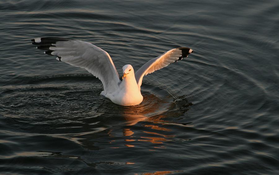 Nature Photograph - Seagulls At Sunset by Valia Bradshaw