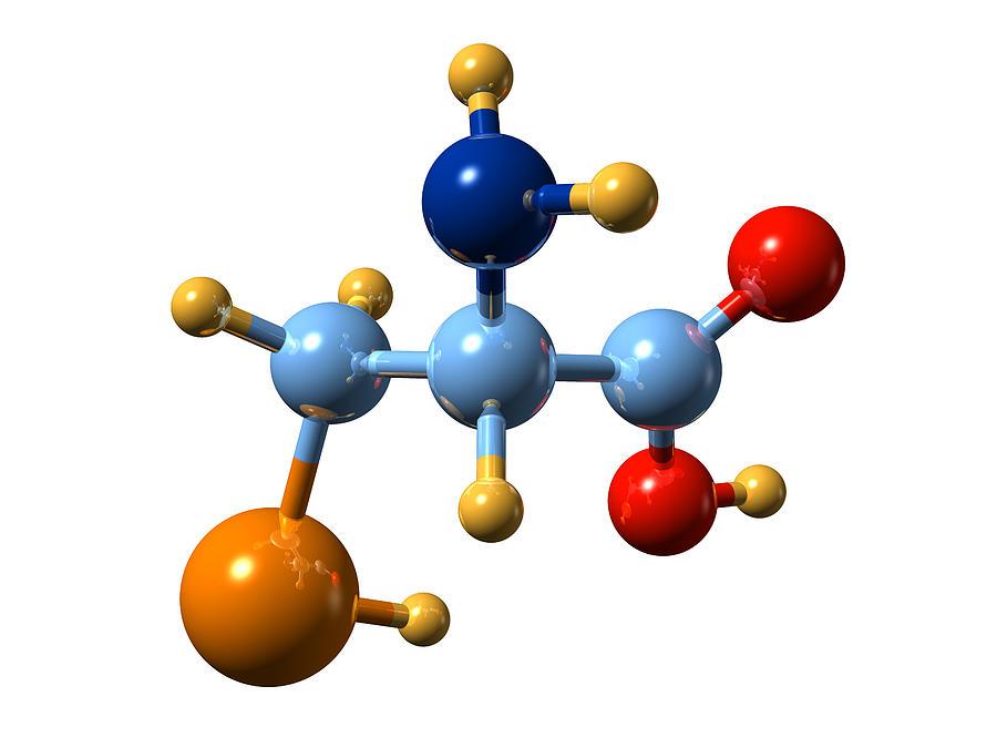 Selenocysteine Photograph - Selenocysteine, Molecular Model by Dr Mark J. Winter