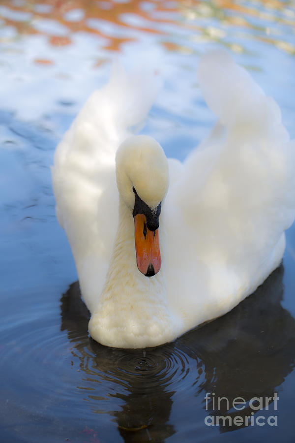Swan Photograph - Serenity  by Leslie Leda