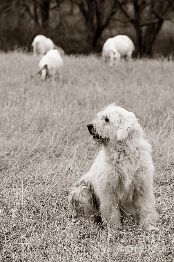 Martindale Photograph - Sheepdog by David  Rusch