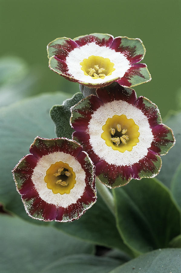 Primula Photograph - Show Auricula astolat Flowers by Archie Young