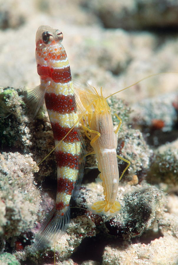 Goby Photograph - Shrimp Goby With Its Partner Shrimp by Georgette Douwma